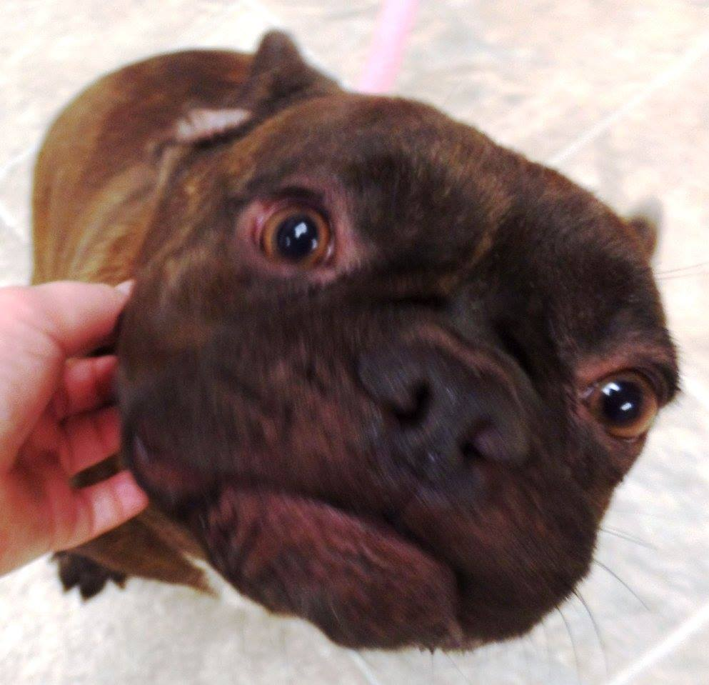 """<div class=""""meta image-caption""""><div class=""""origin-logo origin-image none""""><span>none</span></div><span class=""""caption-text"""">Jabba is a male French Bulldog. He is 1 1/2 years old. (Lake County Indiana Animal Control and Adoption)</span></div>"""