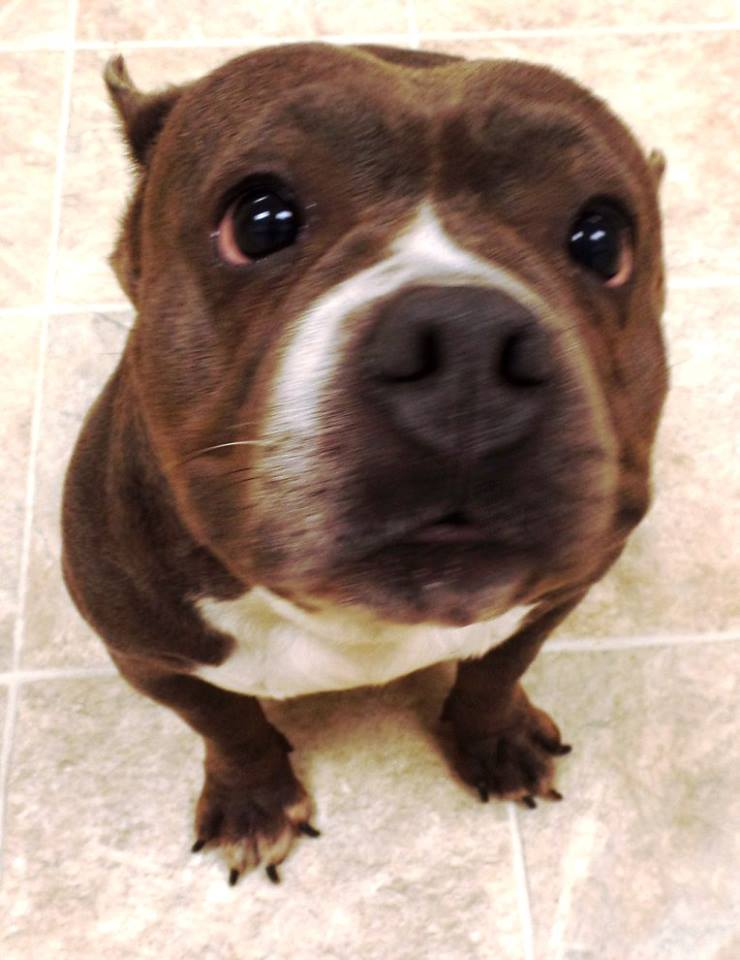 "<div class=""meta image-caption""><div class=""origin-logo origin-image none""><span>none</span></div><span class=""caption-text"">Tullulah is a female American Bully. She is 4 1/2 years old. (Lake County Indiana Animal Control and Adoption)</span></div>"