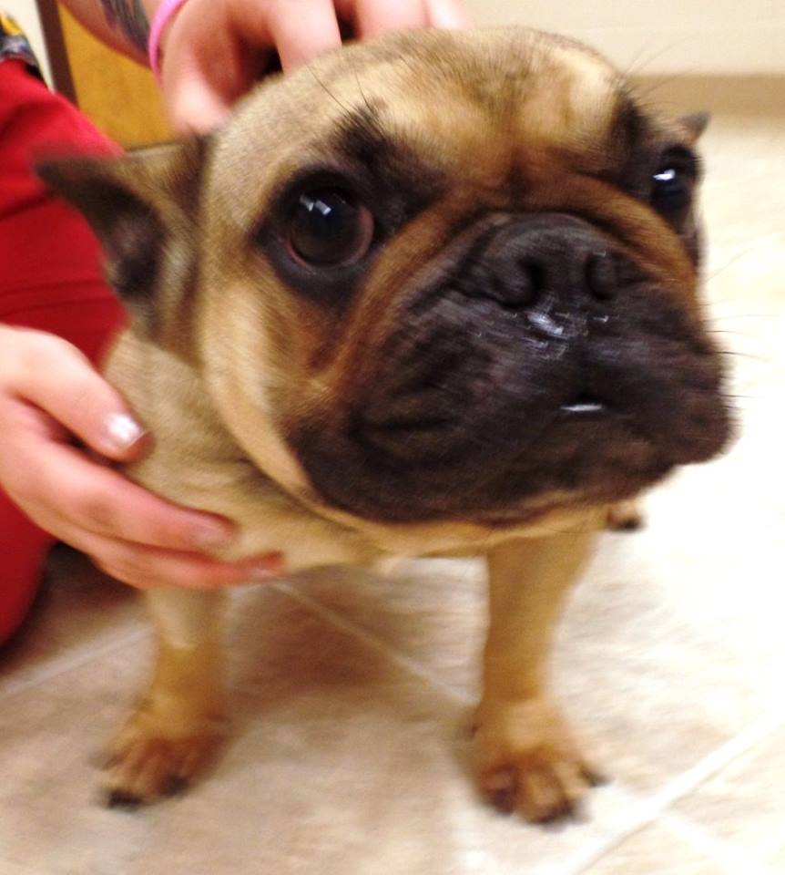 """<div class=""""meta image-caption""""><div class=""""origin-logo origin-image none""""><span>none</span></div><span class=""""caption-text"""">Bailey is a female French Bulldog. She 2 years old. (Lake County Indiana Animal Control and Adoption)</span></div>"""