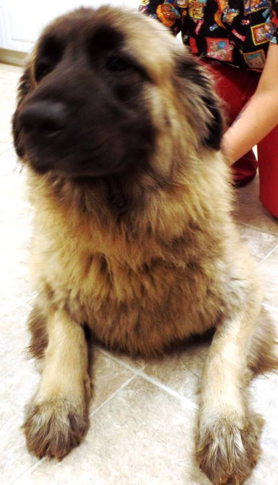 "<div class=""meta image-caption""><div class=""origin-logo origin-image none""><span>none</span></div><span class=""caption-text"">Brandy is a female Leonberger/Sarplaninc. She is 5 years old. (Lake County Indiana Animal Control and Adoption)</span></div>"