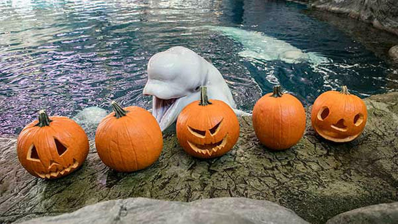 photos shedd aquarium animals play with halloween treats