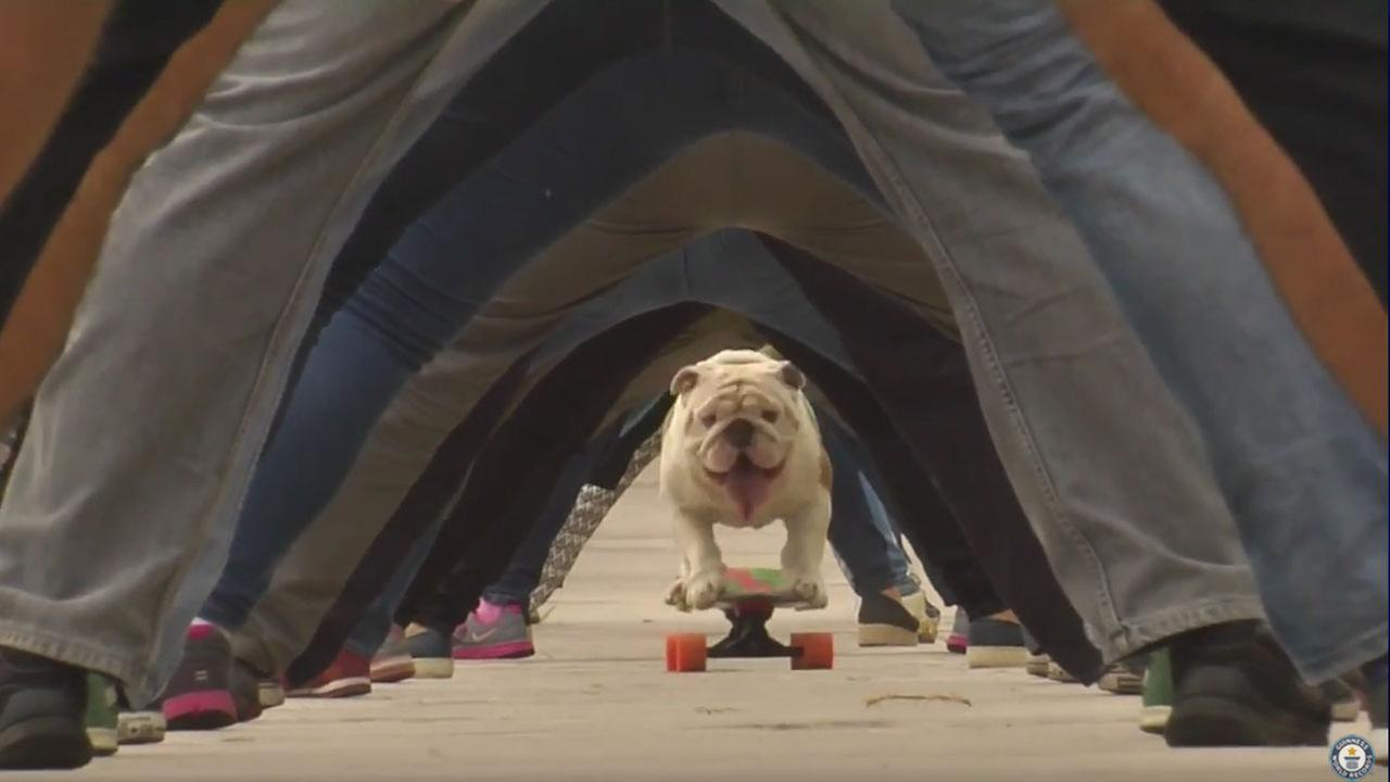Otto the Bulldog sets world record by skateboarding through a human tunnel.