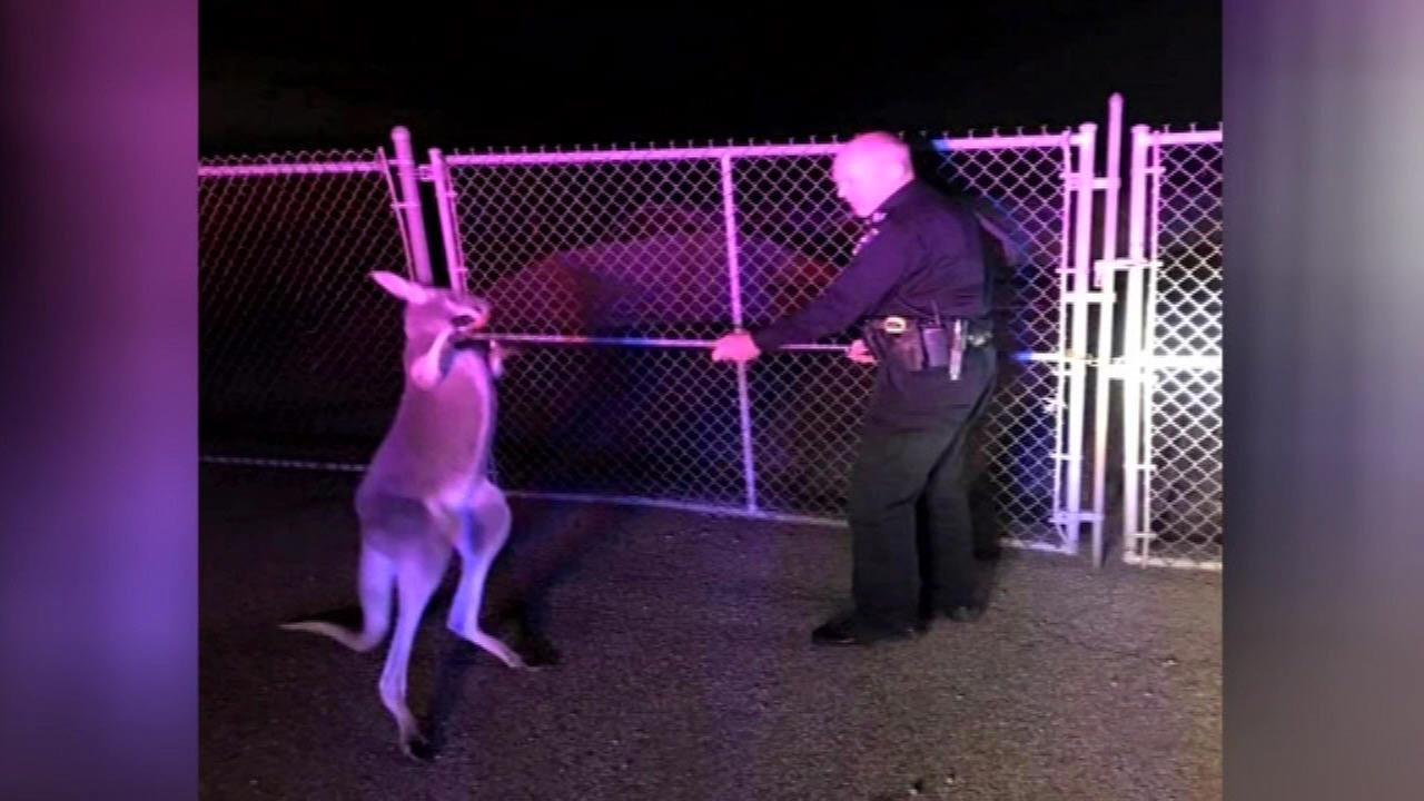 PHOTOS: Kangaroo escapes onto road in Ohio