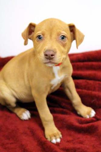 <div class='meta'><div class='origin-logo' data-origin='none'></div><span class='caption-text' data-credit='Anti-Cruelty Society'>Callie. Female. Retriever, Labrador/Mix. 2 months</span></div>