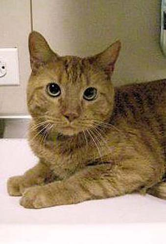 <div class='meta'><div class='origin-logo' data-origin='none'></div><span class='caption-text' data-credit='Anti-Cruelty Society'>Chaos. Male/Neutered. Domestic Shorthair/Mix. 4 years</span></div>
