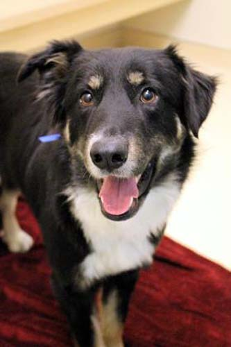 <div class='meta'><div class='origin-logo' data-origin='none'></div><span class='caption-text' data-credit='Anti-Cruelty Society'>Colt. Male. Australian Shepherd/Mix. 3 years</span></div>