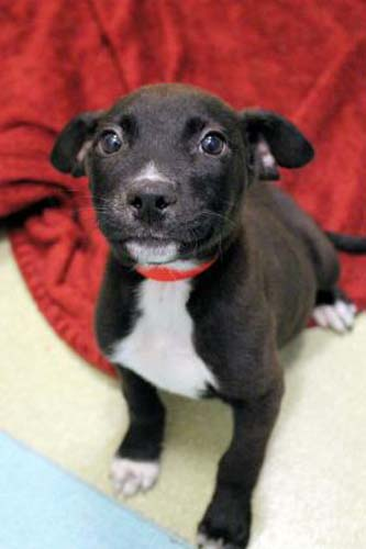 <div class='meta'><div class='origin-logo' data-origin='none'></div><span class='caption-text' data-credit='Anti-Cruelty Society'>Echo. Female. Terrier/Mix. 2 months</span></div>
