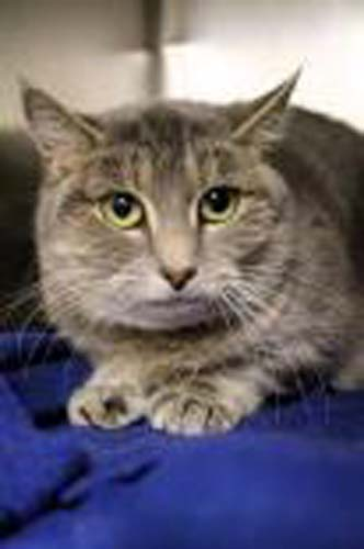 <div class='meta'><div class='origin-logo' data-origin='none'></div><span class='caption-text' data-credit='Anti-Cruelty Society'>Gertie. Female/Spayed. Domestic Shorthair/Mix. 4 years</span></div>
