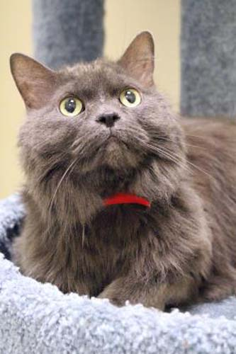 <div class='meta'><div class='origin-logo' data-origin='none'></div><span class='caption-text' data-credit='Anti-Cruelty Society'>Gidget. Female/Spayed. Domestic Medium Hair/Mix. 9 years 7 months</span></div>