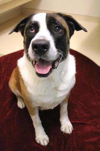 <div class='meta'><div class='origin-logo' data-origin='none'></div><span class='caption-text' data-credit='Anti-Cruelty Society'>Harley. Female/Spayed. Saint Bernard/Mix. 4 years.</span></div>