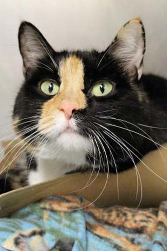 <div class='meta'><div class='origin-logo' data-origin='none'></div><span class='caption-text' data-credit='Anti-Cruelty Society'>Irma. Female/Spayed. Domestic Shorthair/Mix. 7 years 2 months</span></div>