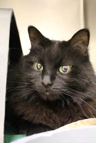 <div class='meta'><div class='origin-logo' data-origin='none'></div><span class='caption-text' data-credit='Anti-Cruelty Society'>Lucy. Female/Spayed. Domestic Medium Hair/Mix. 7 years 1 month</span></div>