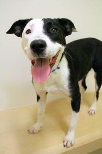 <div class='meta'><div class='origin-logo' data-origin='none'></div><span class='caption-text' data-credit='Anti-Cruelty Society'>Randy. Male/Neutered. Border Collie/Mix. 1 year 1 month.</span></div>
