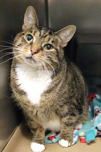 <div class='meta'><div class='origin-logo' data-origin='none'></div><span class='caption-text' data-credit='Anti-Cruelty Society'>Sassy. Female/Spayed. Domestic Shorthair/Mix. 9 years 6 months.</span></div>