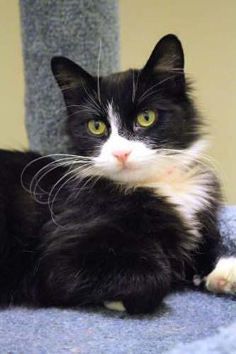 <div class='meta'><div class='origin-logo' data-origin='none'></div><span class='caption-text' data-credit='Anti-Cruelty Society'>Schnitzel. Female/Spayed. Domestic Medium Hair/Mix. 2 years.</span></div>
