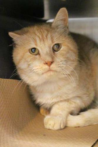 <div class='meta'><div class='origin-logo' data-origin='none'></div><span class='caption-text' data-credit='Anti-Cruelty Society'>Tino. Male/Neutered. Domestic Shorthair/Mix. 9 years.</span></div>