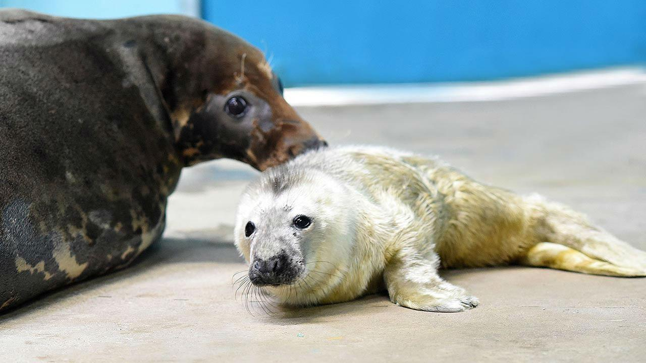 PHOTOS: Gray Seal pup born at Brookfield ZooJim Schulz/Chicago Zoological Society