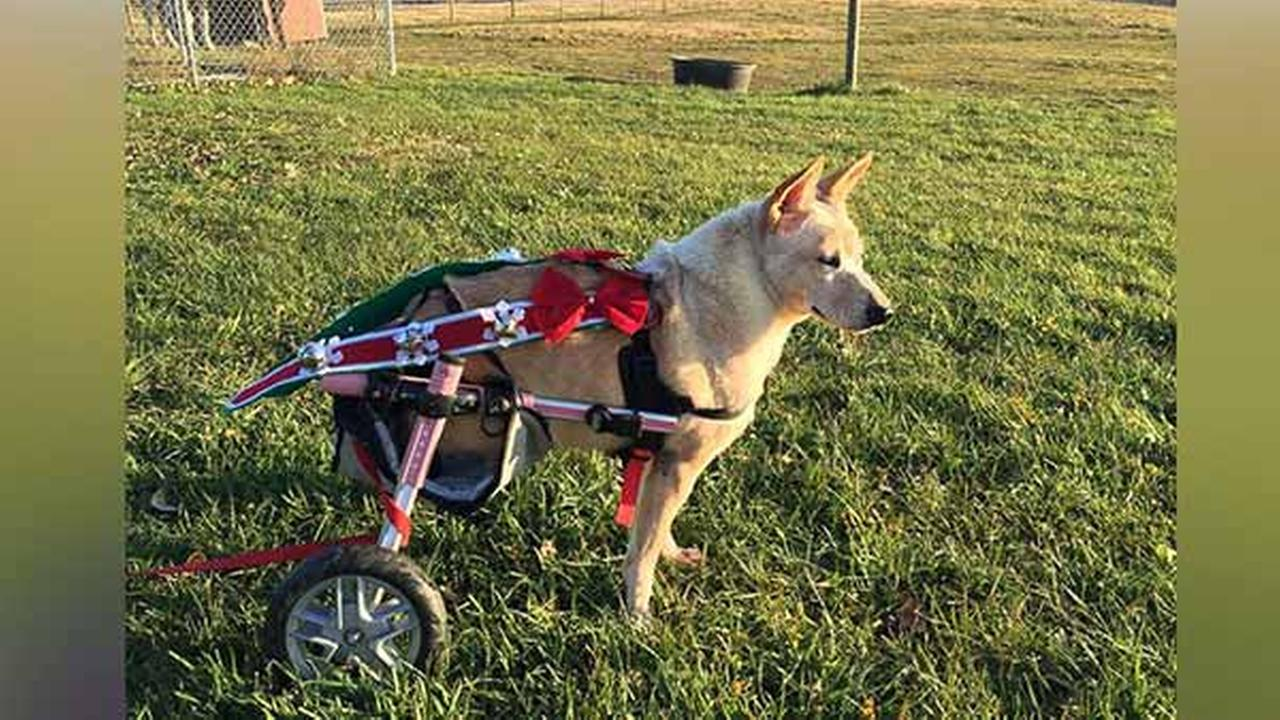 Dog with missing hind legs, broken spine gets specialized wheelchair