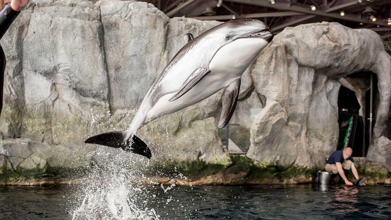 Katrl, a female dolphin at Shedd Aquarium, is pregnant and due in the spring.