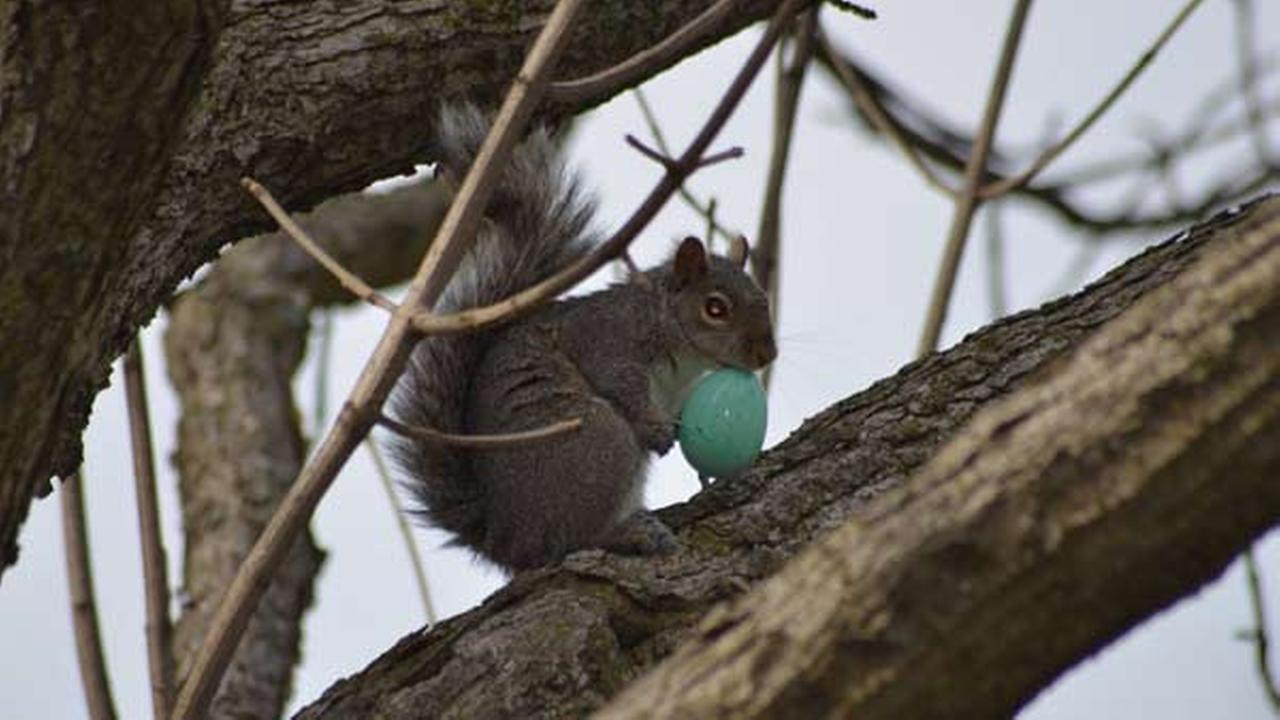 Apparently, squirrels also enjoy hunting for eggs on Easter!Erica Dini