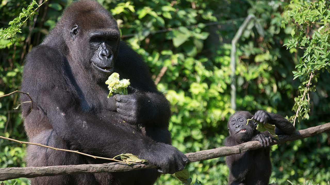 Gorillas at Cincinnati Zoo