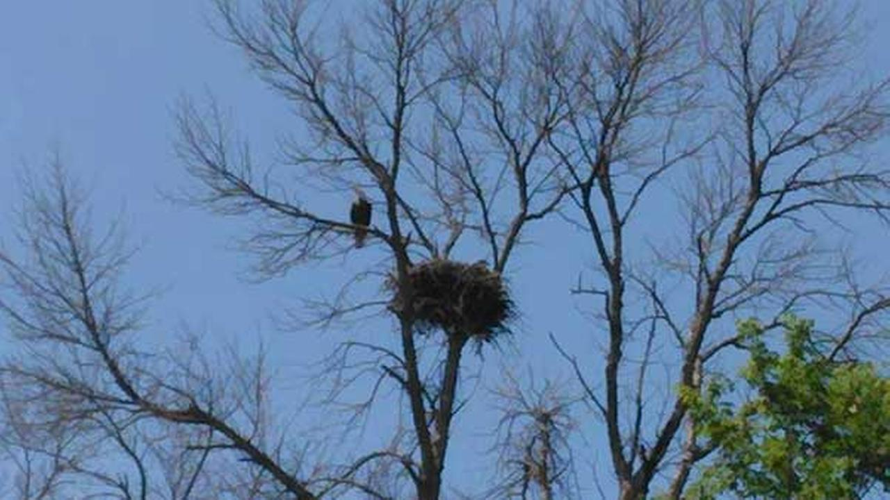 An ABC7 Chicago Facebook fan shared these photos of the eagle he spotted off Irene Road near Highway 72 near Kirkland, Illinois. Brian Jennings