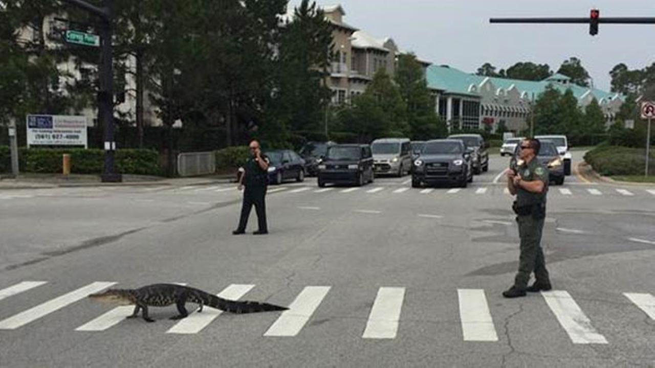 Alligator crosses road, uses crosswalk