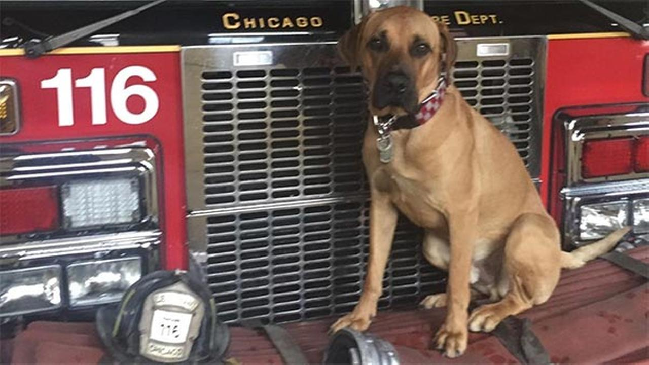 Two-year-old Bull, a Danish Mastiff, is missing from CFD Engine 116 in West Englewood.