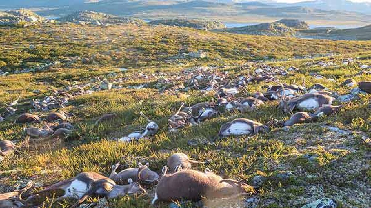 In this image made available by the Norwegian Environment Agency on Monday Aug. 29 2016, shows some of the more than 300 wild reindeer that were killed by lighting in Hardangervidd