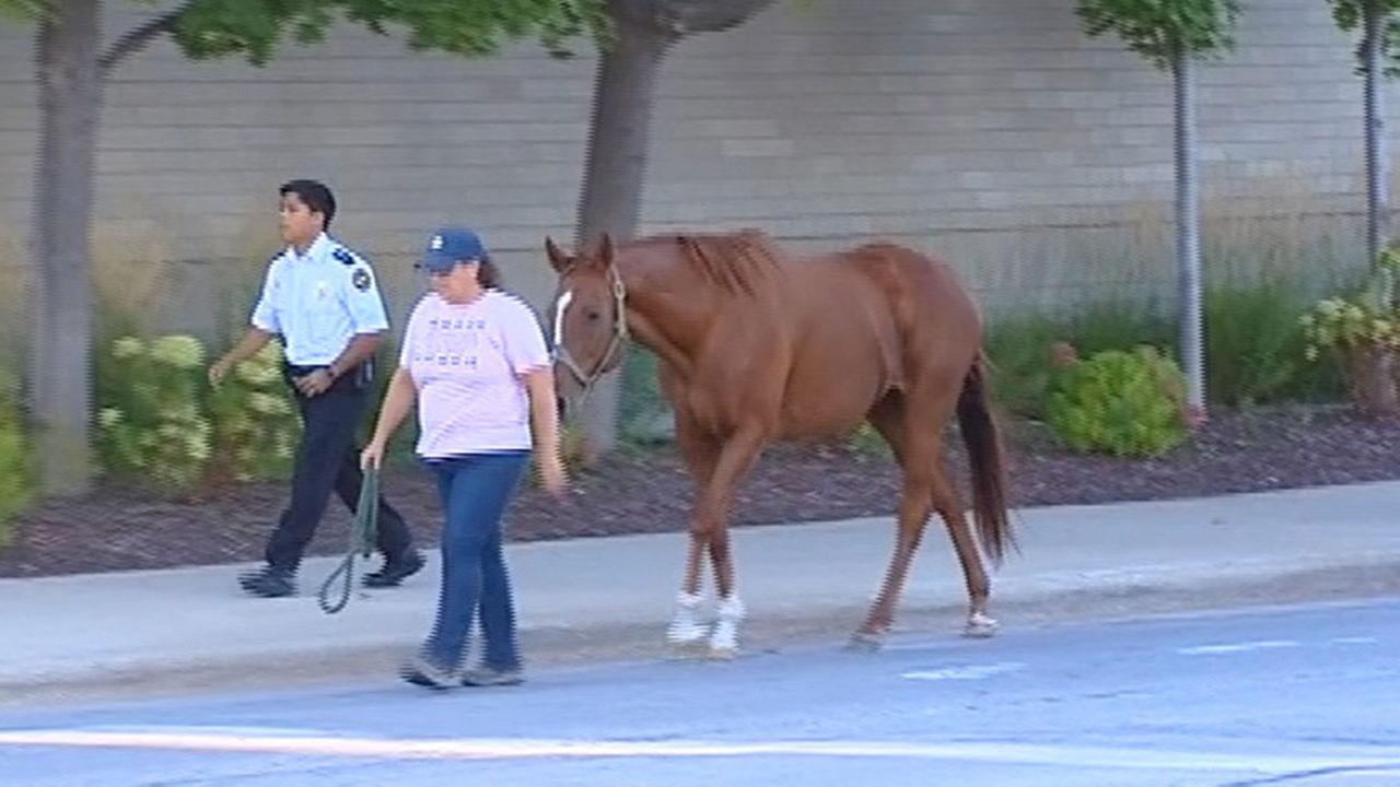 Horse escapes Morton Grove stableNetwork Video Productions