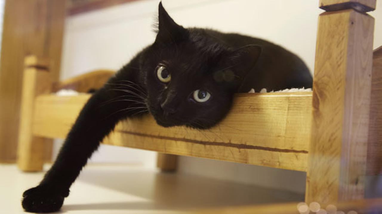 FILE: A black cat lounges on a small bed at Morris Animal Inn Tuesday, Aug. 4, 2015, in Morristown, N.J.