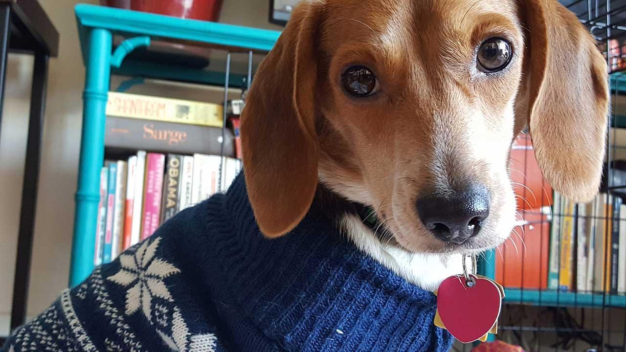 Elf the foster beagle