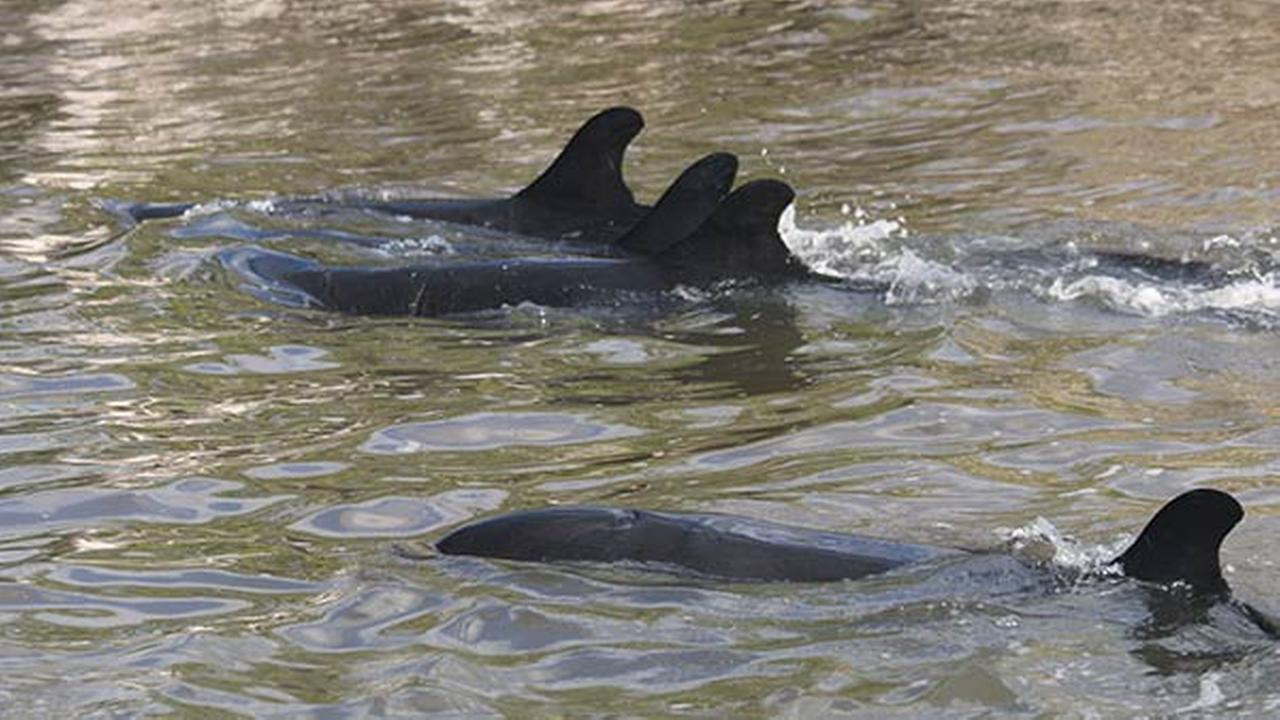 A total of 95 false killer whales, a type of dolphin, were stranded off the coast of Monroe County in South Florida, according to NOAA.Florida Fish & Wildlife