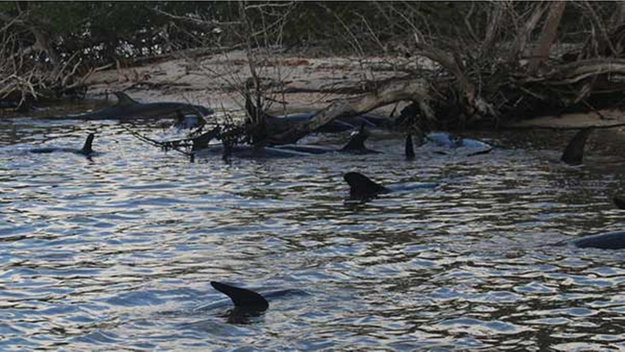 A total of 95 false killer whales, a type of dolphin, were stranded off the coast of Monroe County in South Florida, according to NOAA.