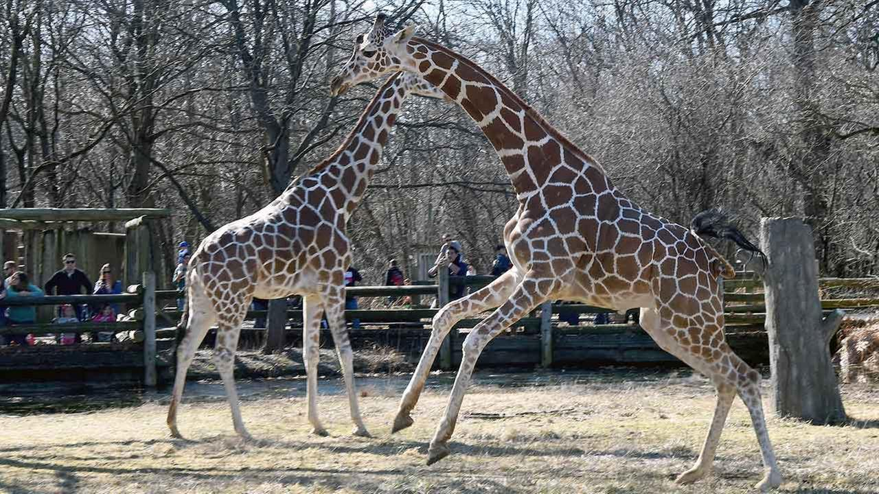 PHOTOS: Giraffes at Brookfield Zoo enjoy spring-like weather