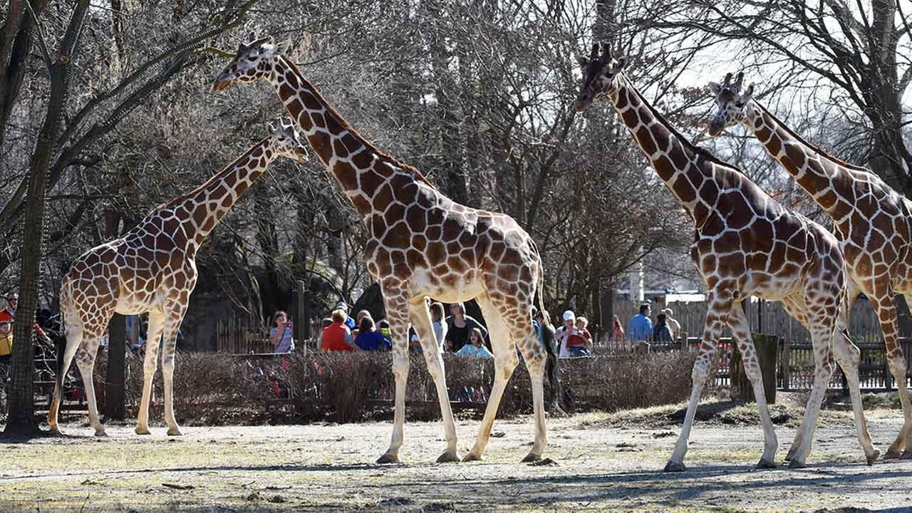 PHOTOS: Giraffes at Brookfield Zoo enjoy spring-like weatherBrookfield Zoo