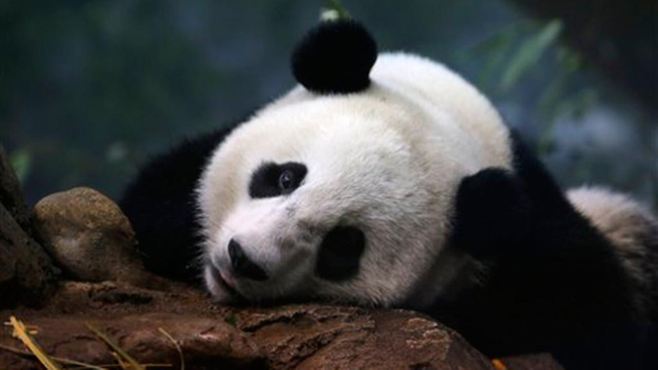 Giant panda Bao Bao, who was born Aug. 23, 2013, spends time in his indoor habitat at the Smithsonians National Zoo in Washington, Wednesday, Aug. 12, 2015.