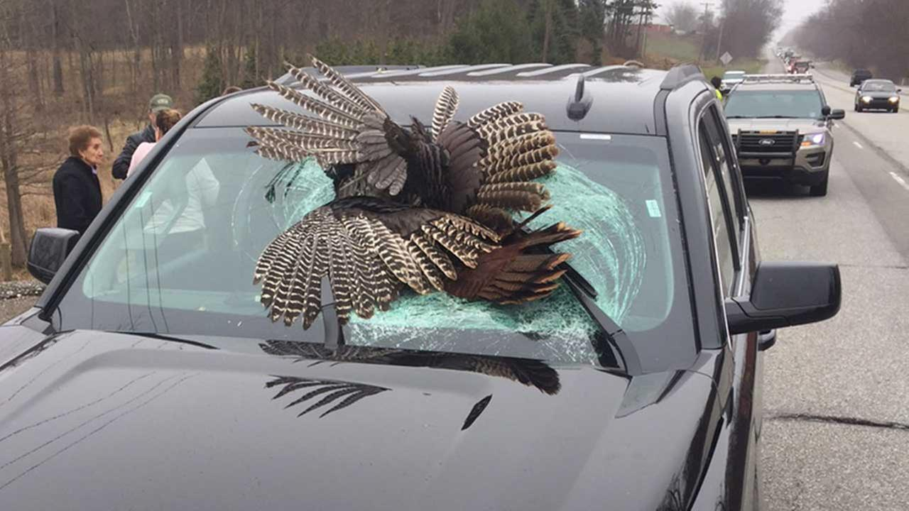 30-pound wild turkey killed in Indiana car crash