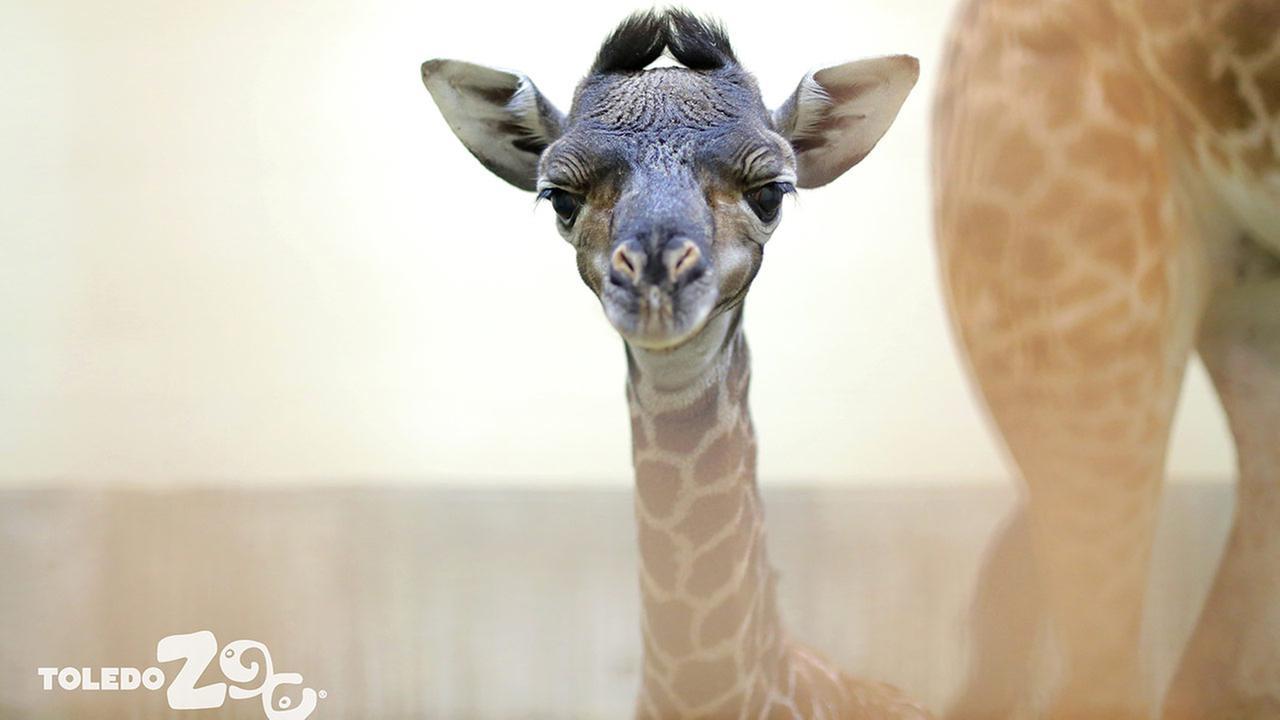 Kipenzi the giraffeToledo Zoo