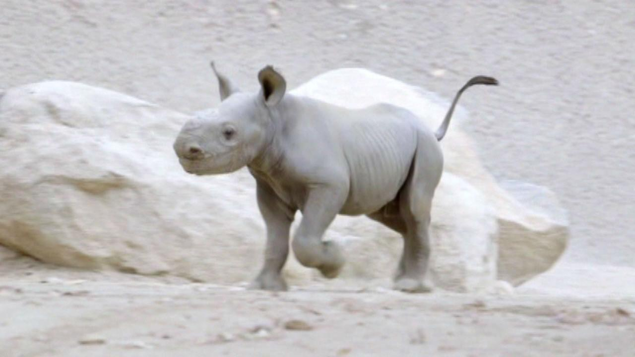 San Diego Zoo welcomes baby rhinoceros