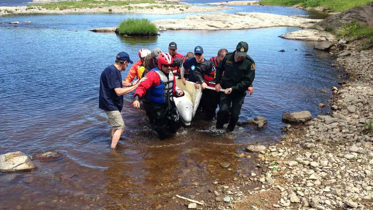 A team from the Shedd Aquarium helped rescue a beluga whale in Canada Thursday.