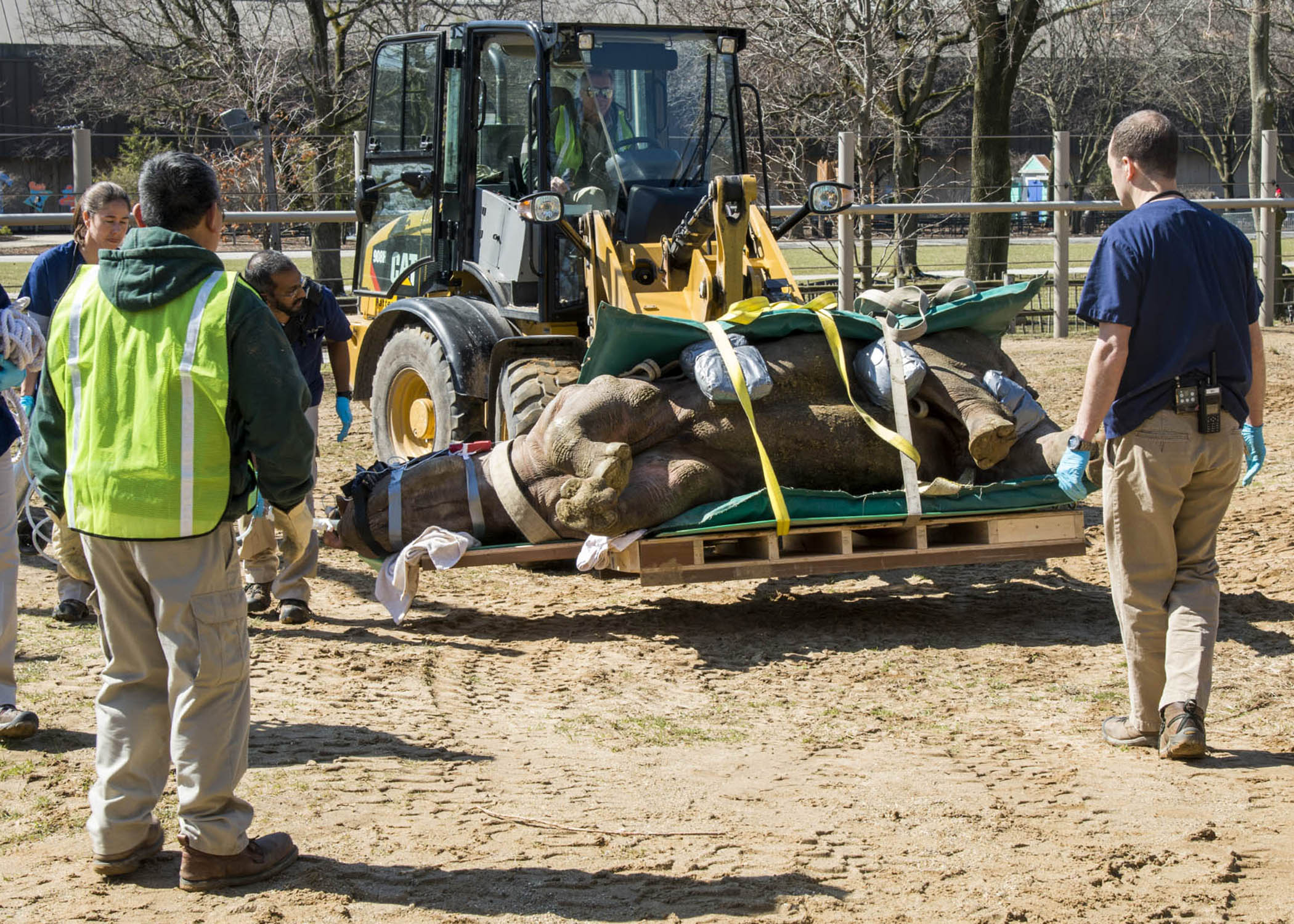 <div class='meta'><div class='origin-logo' data-origin='none'></div><span class='caption-text' data-credit='Kelly Tone/Chicago Zoological Society'>Layla, a 2,300-pound eastern black rhinoceros at Brookfield Zoo, is lifted by a front-end loader, manned by Greg Wall, an assistant lead groundskeeper,.</span></div>