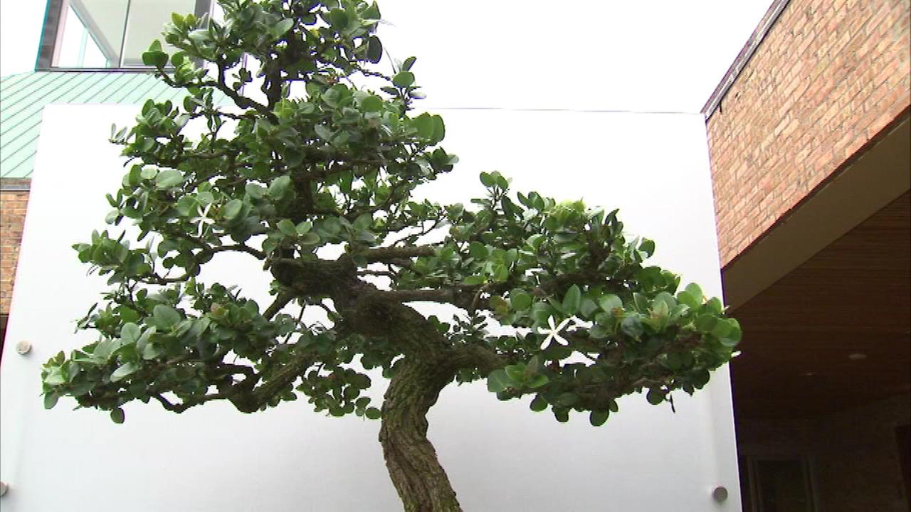 One of the largest exhibitions of Japanese bonsai trees has wrapped up at the Chicago Botanic Garden.