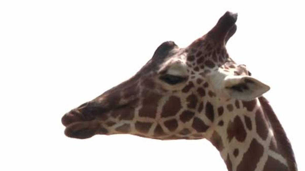 Giraffe kicks woman in the face at Madison zoo