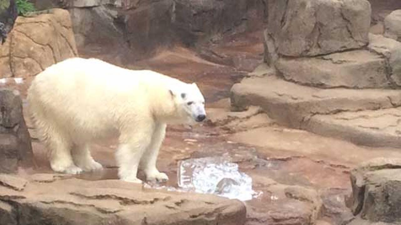 Anana the polar bear in her exhibit at Lincoln Park Zoo.