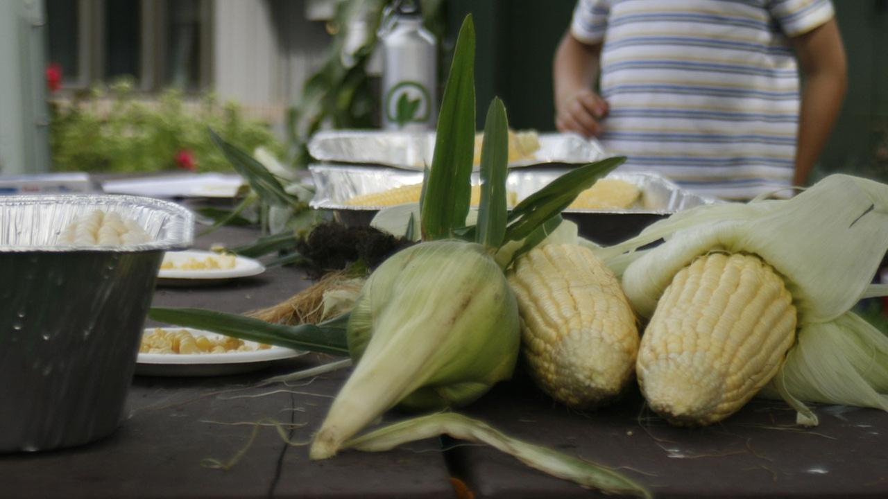 (FILE) Sweet corn at a University of Wisconsin research farm in Verona, Wis.