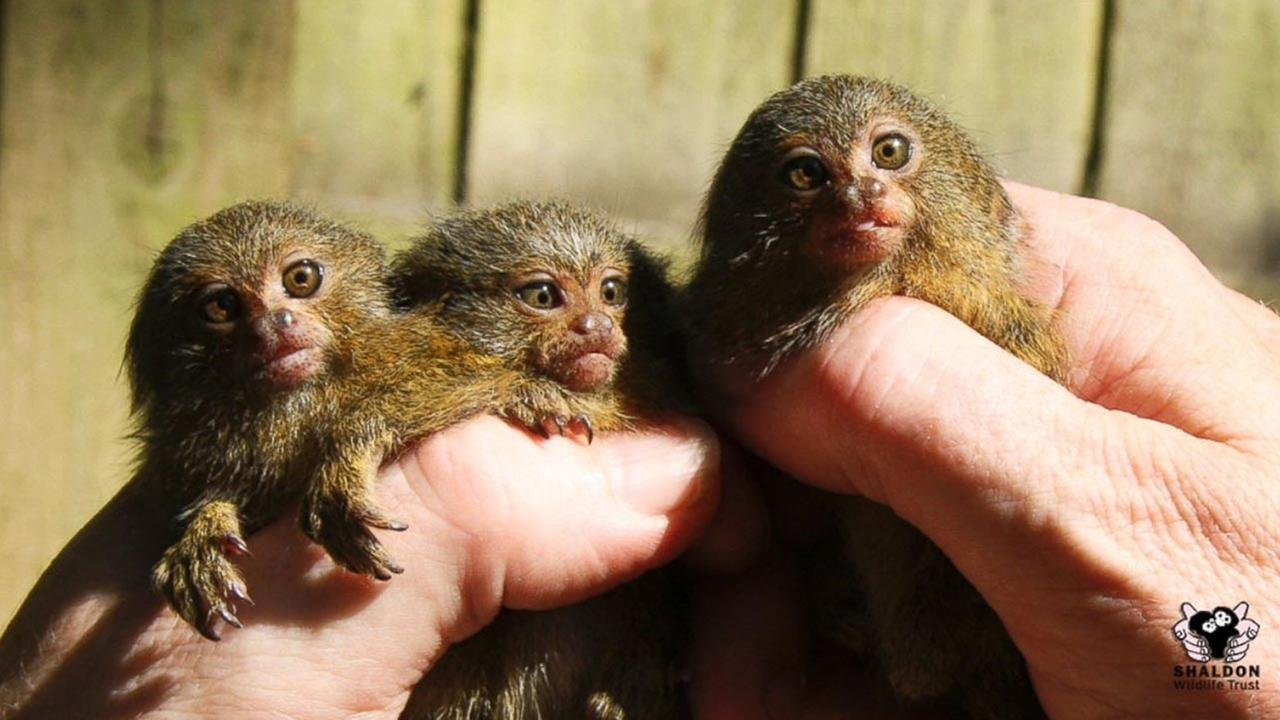 Meeny, Miny and Mo are a set of rare triplet White-bellied pygmy marmosets.