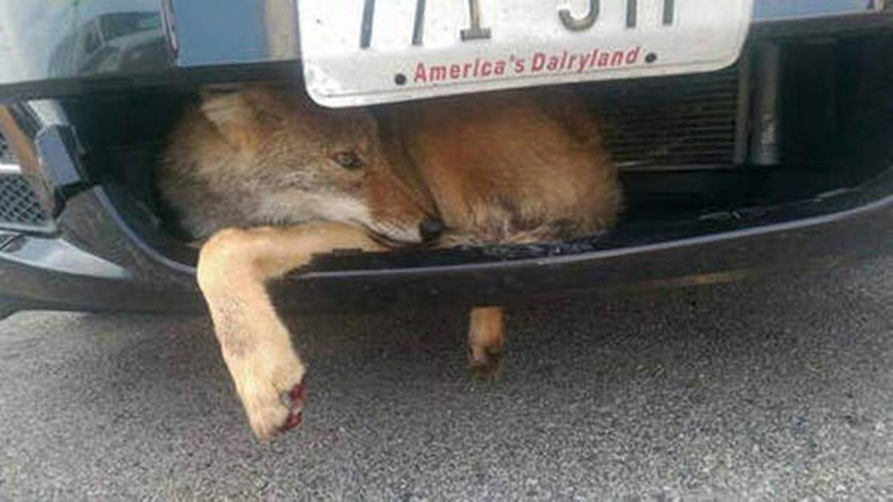 A train conductor pulled into the employee parking lot at a north suburban train station with what turned out to be a coyote stuck in the grill of his vehicle.