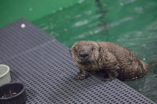 <div class='meta'><div class='origin-logo' data-origin='none'></div><span class='caption-text' data-credit='(©Shedd Aquarium/Brenna Hernandez)'>Experts from Chicago's Shedd Aquarium have teamed up with an aquarium in Alaska to provide care for an orphaned sea otter pup.</span></div>