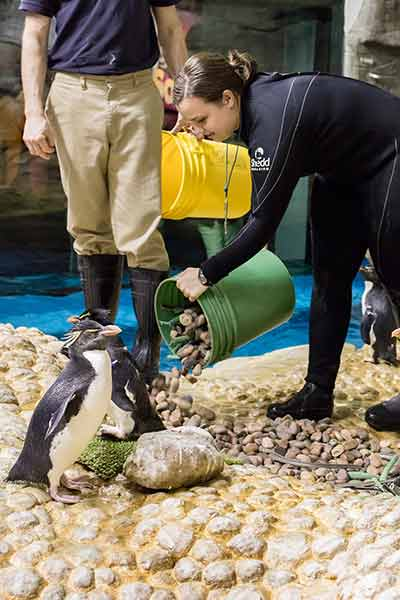 <div class='meta'><div class='origin-logo' data-origin='WLS'></div><span class='caption-text' data-credit='Shedd Aquarium/Brenna Hernandez'>The nesting materials were introduced to the penguin habitat Tuesday, signaling the beginning of a several weeks long nest building process for the birds.</span></div>